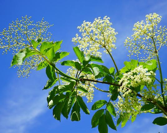 black-elderberry-474752_640