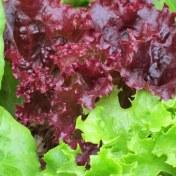 lettuce-540217__340